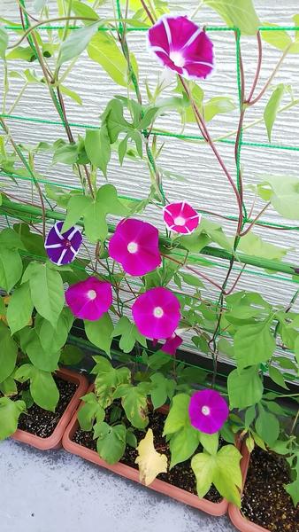 おはようございます(^_^)ノ 今朝のアサガオは22輪咲きました。 新規に咲いた株の紫色の