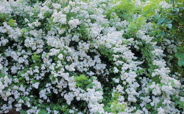 ノイバラ:当初は薔薇の芽接ぎと薔薇の実のリース用に植えたらBigサイズになりまして・