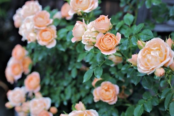 スィートドリーム:1年経った枝は殆ど花を付けませんが毎年新しいシュートを出します