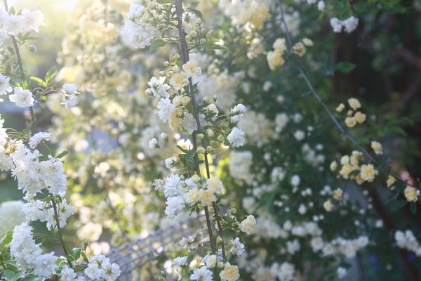 モッコウバラ:白と黄色合わせて3本植えてありますが大木のユーカリ2本を覆っている状