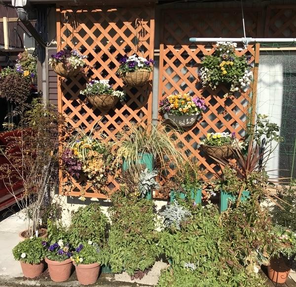 パンジーとビオラ、ゴデチア、スイートピー、シマトネリコ等  改造前の庭 2019年1月7