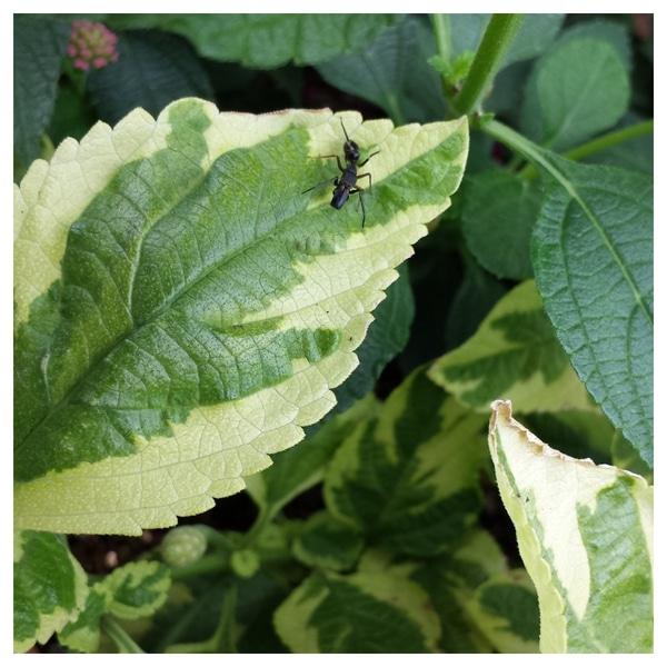 アリに似ていますと書いたが こちらもアリではありません。 ランタナの葉っぱに止まっ