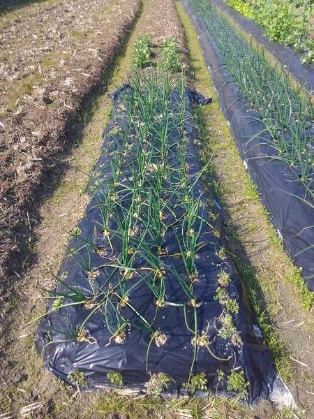 中晩生玉ねぎの2回目の追肥です。 追肥はこれで終了です。  この畑はこの一列だけ無償