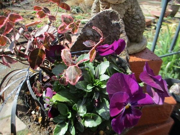 よく咲くすみれ・カシス(8月種まき)  つる正木、黒竜と
