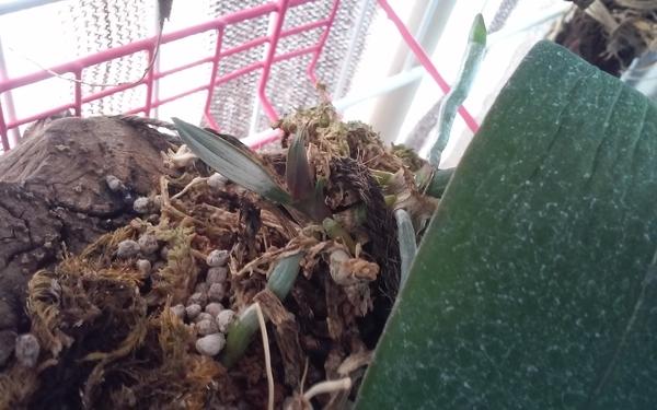 コチョウラン(胡蝶蘭)の写真 by ラムパパ  子株が出てきて♪嬉しい(2番目花芽失敗が