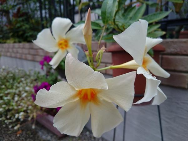 マンデビラ  サンパラソル 花数が少なくなってきました。 名残惜しいけど、冬越しがん