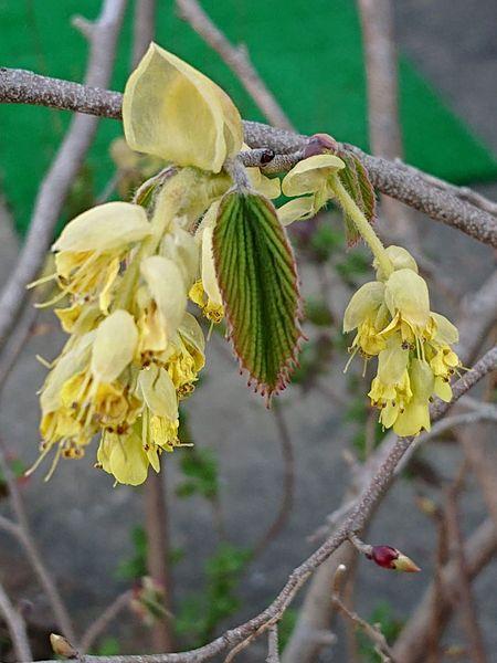 ヒュウガミズキです。別名イヨミズキです。  きれいな葉です。マンサク科トサミズキ属