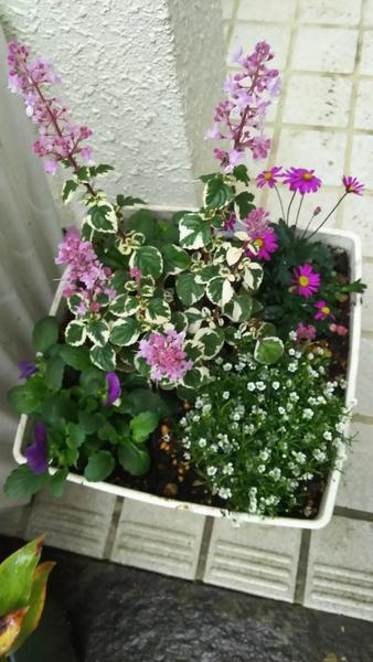 ヘミジギアを入れて寄せ植えを作ってみました。