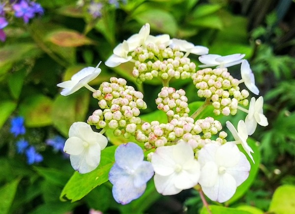 八重咲き甘茶