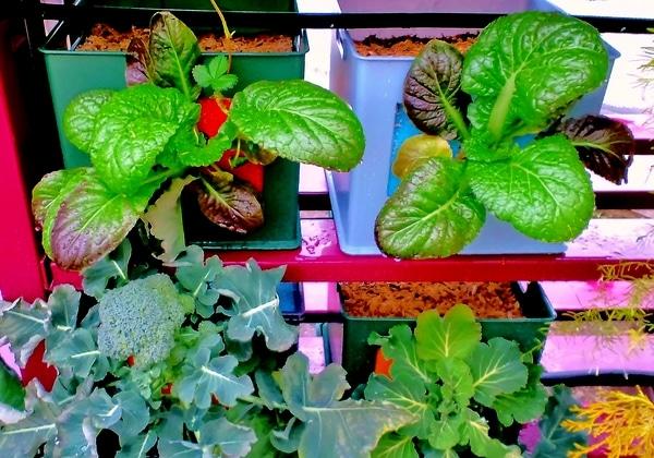 高菜とブロッコリーとケールが徐々に成長。