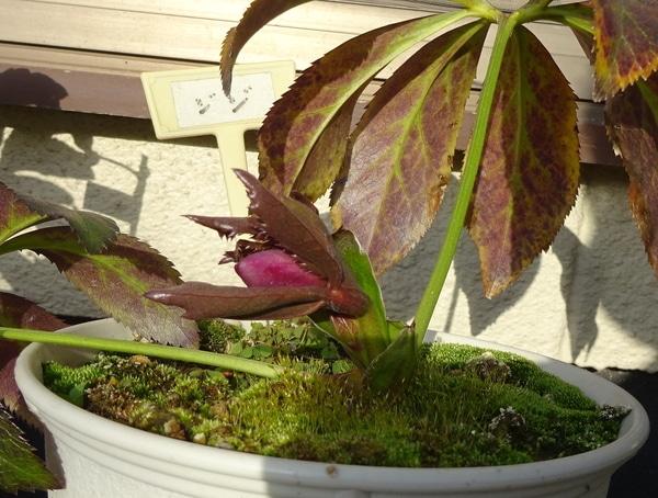 鉢植えのクリロー、愛称『ジジ』赤いつぼみが見えてきました。 2月12日。