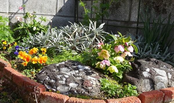 表花壇のクリスマスローズが咲き進んでいます。 2月12日。