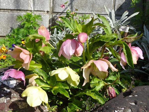 表花壇のクリロー、愛称『リリー』咲き進んでいます。 2月12日。