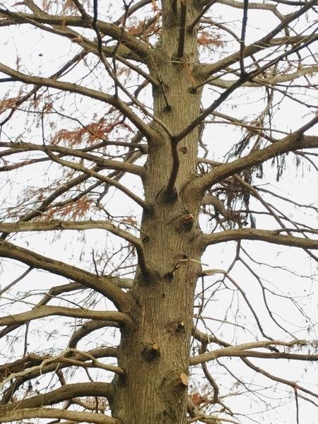 メタセコイア 今日は小雨も降り冬の寒い日 冬の風景です
