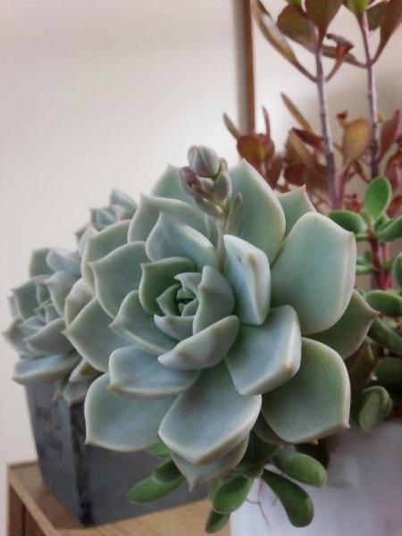 白牡丹:花芽伸びてます