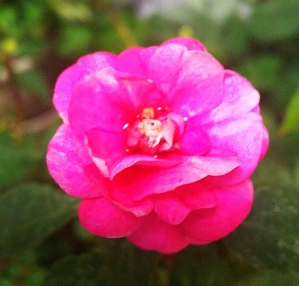 インパチェンス・フィエスタ・カルフォルニアローズ・ルージュの可愛い💖花