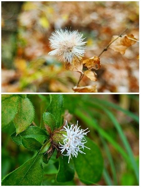 キク科『コウヤボウキ』 (上)果実と冠毛 (下)9月下旬に咲いた花
