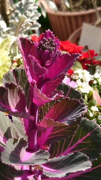 寄せ植えの葉牡丹、花を咲かせようと茎を伸ばしてつぼみを付けていました😆