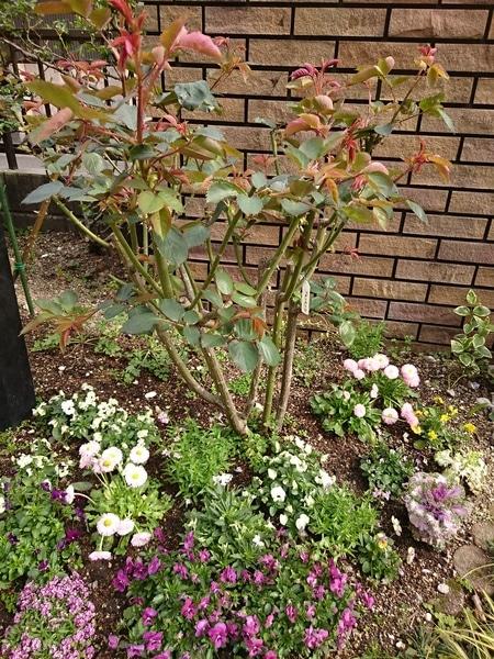 バラの新芽が伸びてきました。 バラが芽吹くと、庭に緑のボリュームが増して、心もウ