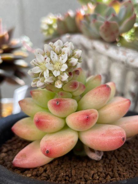 エケベリア シャングリラ  ピンクイエローのぷくぷくの葉が可愛い😍💕 白い花も咲き始め