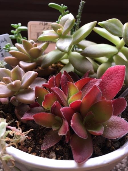 紅葉🍁祭り、ブロンズ姫、メイゲツ。 それぞれに色の持ち味があって、美しい🤩