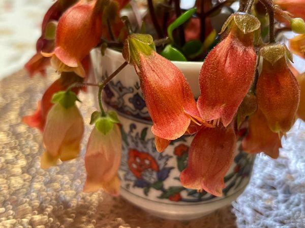 カランコエ シャンデリアとフィフィの花❤️  薄い色の花がフィフィ。 エスプレッソ用の