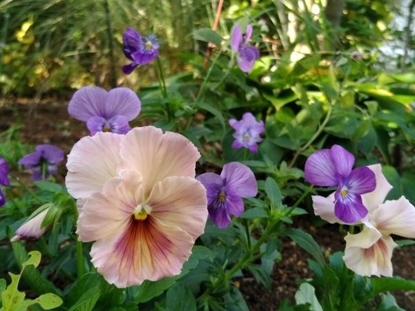 パンジーを庭に植えました。  花の大きさが違いますが、どちらもパンジー、 紫は「ポ