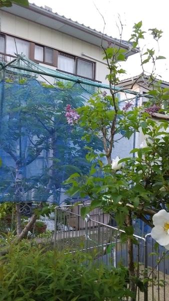 ライラックの写真 by ブルーエルフイン no.2 《ライラック》  今年も可愛らしい花を付