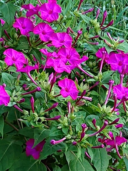 オシロイバナです。  野生化して近所の道端に咲いています。可愛いい花です。オシロイ