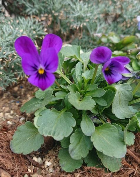 種採り 種蒔きっ子の💙碧いうさぎさん⑤