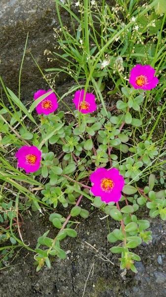 ポーチュラカの写真 by なこぽち 9/4 ポーチュラカ こぼれ種から咲いています。
