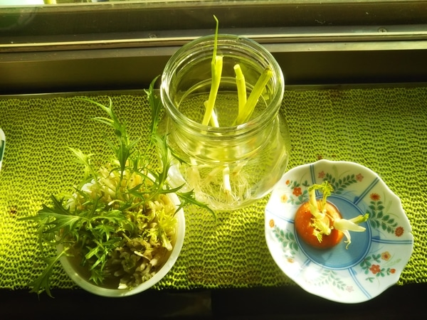 🥕・万能ネギ・水菜の水栽培