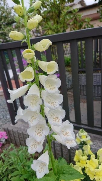 ジギタリス白が咲きました😊 ルピナスやキンギョソウと背比べ🎶