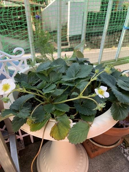 2019.1.13 カレンベリー🍓 よつぼし より遅めの開花です。よつぼし が終わったらカレン