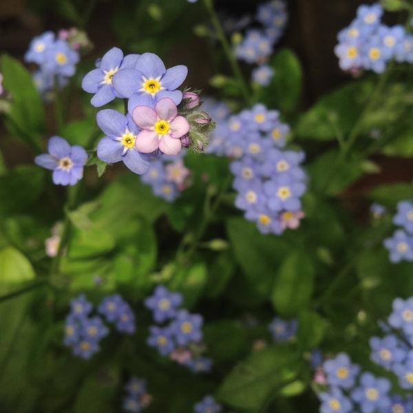 忘れな草 毎年こぼれ種で咲いてくれます。小さなお花はほんとに「私を忘れないで」っ