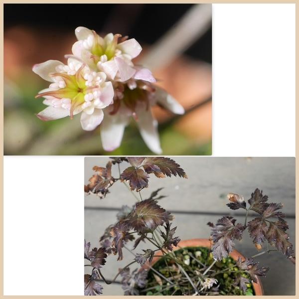 セリバオウレン 2/12  これから蕊が伸びてきて花姿が変化しますが、この姿も可愛くて
