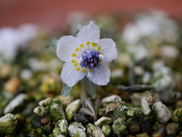 セツブンソウ 2/12  地際でとても素敵なお花が咲きました(*^-^*)