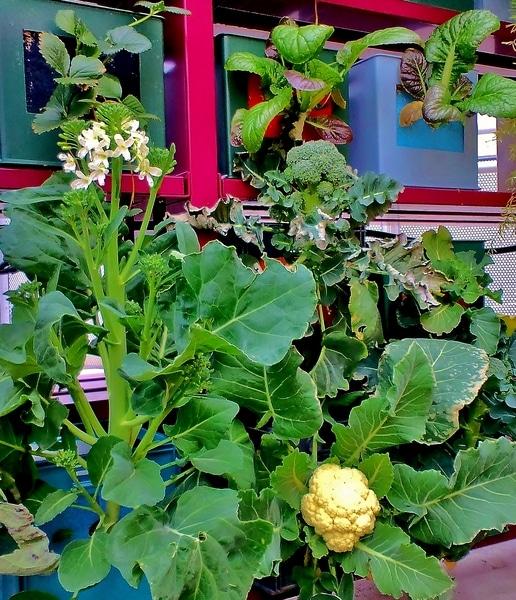 茎ブロッコリーの花 ブロッコリー カリフラワー 高菜 イチゴ