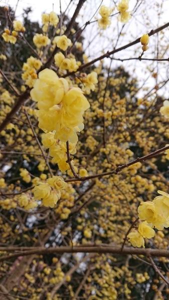 『蝋梅の里』にて… ここ数年毎年通ってます😊 万年鼻炎で、お花の匂いを感じられないの