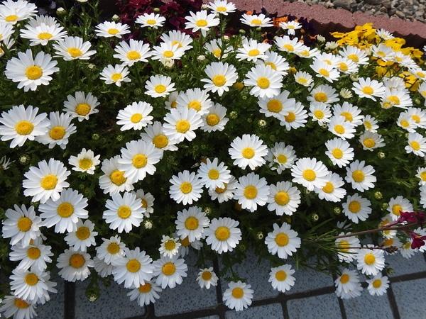 ノースポール(クリサンセマム)の写真 by あけマサ ノースポール。 こぼれ種で毎年咲