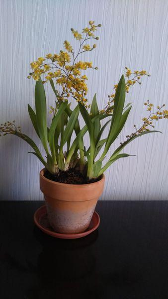 オンシジウム ゴールドダスト  花茎5本です。 毎年安定して咲いてくれます(^-^)  展示