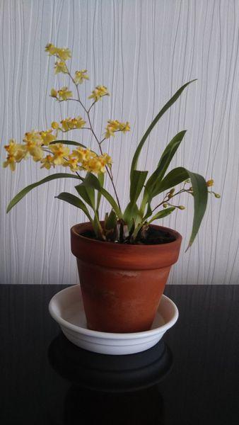 オンシジウム トゥインクル  去年の蘭展でもらったチビっこ。チビなのにしっかり咲い