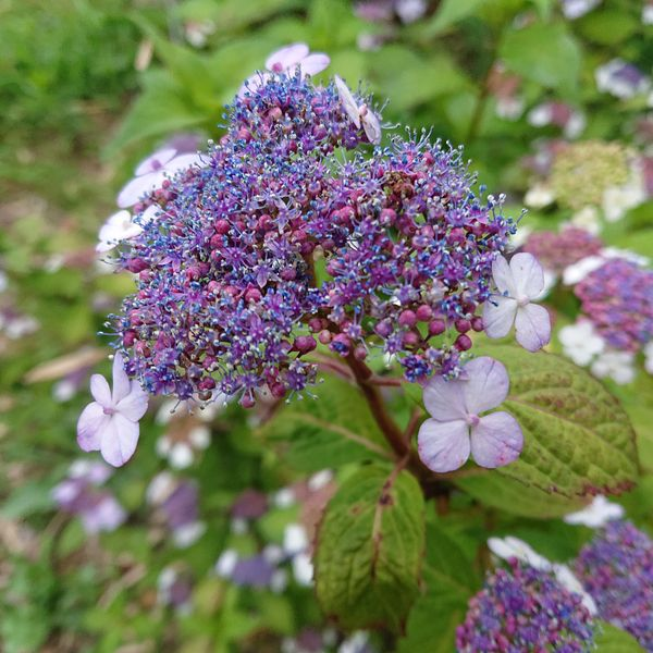 「アマチャ」も山アジサイの変種だけあって、土壌の酸性アルカリ性で花の色が変わりま