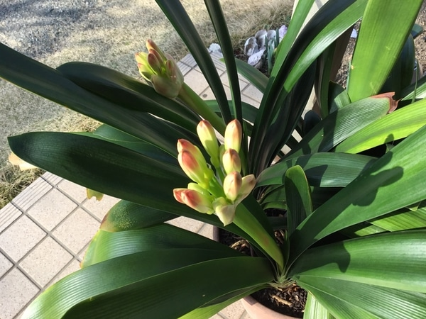 2019年3月16日 君子蘭、蕾が色付いてきた、現時点で花芽は3つ