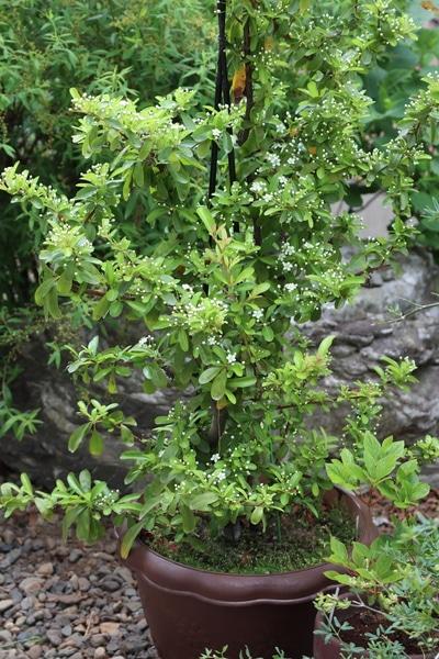 鉢植えのピラカンサ、魅力的な可愛い花