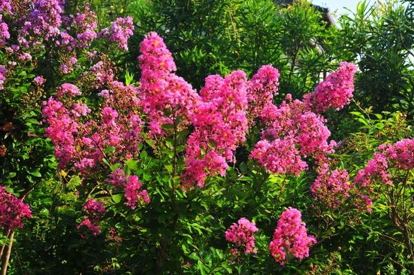 一才サルスベリですが2m越してます。濃いピンクとパープル並んで咲きます。