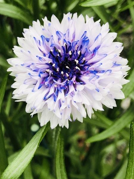 5/16 矢車草 今朝のホワイト♡です‼︎  # Rodgersia podophylla