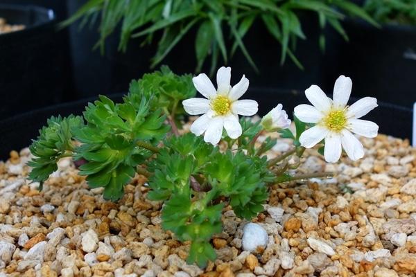 ヒダカソウです。 日本に自生する3つのカリアンテマムの1つです。 とても貴重な植物