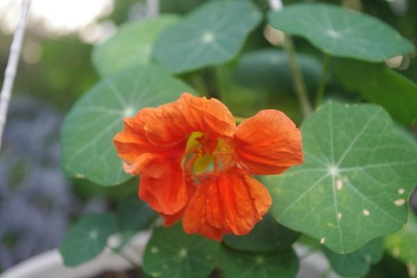 ナスタチウム(キンレンカ)の写真 by 木漏れ日 キンレンカ 3月末に種まきしました。