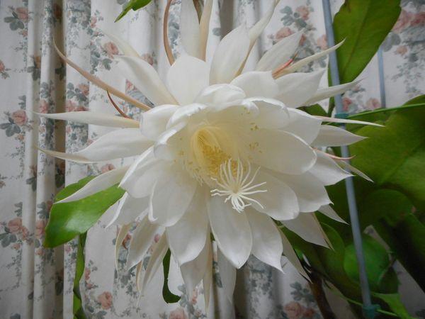 月下美人の写真 by 愛は花。 11月28日 今年最後の月下美人です。
